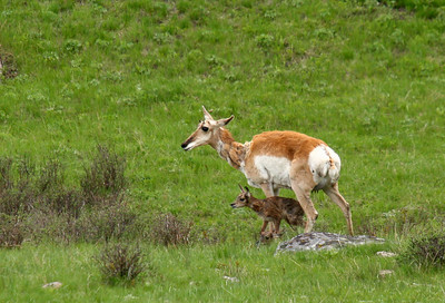 A female pronghorn stands over her newborn fawns