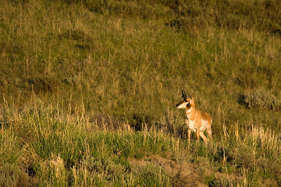Pronghorn antelope just before sunset