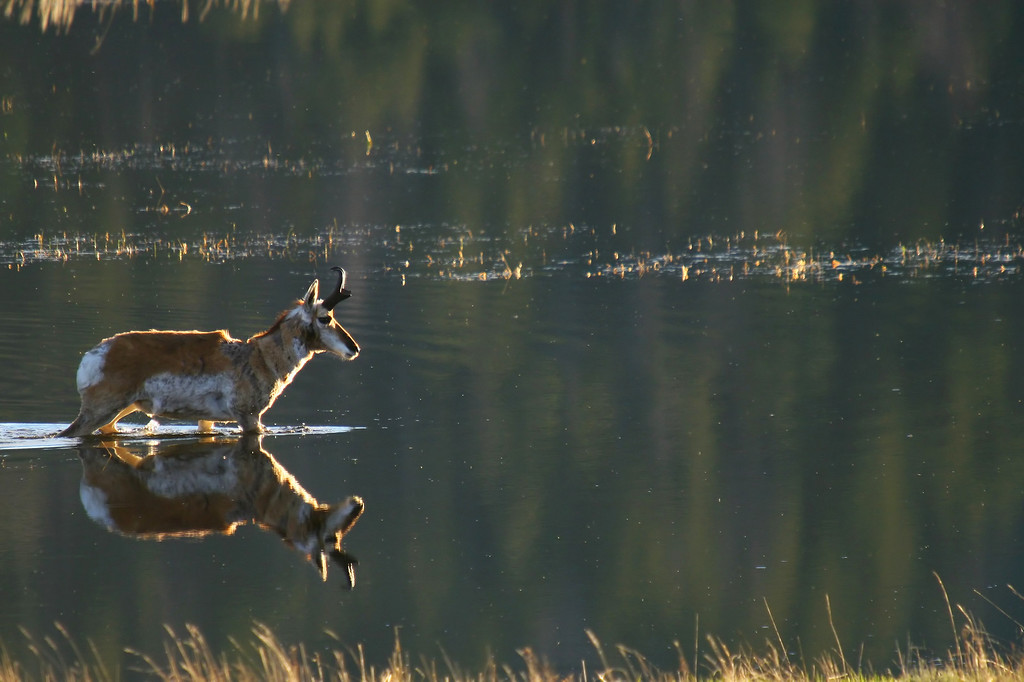 A pronghorn antelope buck is reflected in a flooded valley hole