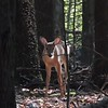 Fawn with most of its spots gone - August 30, 2017