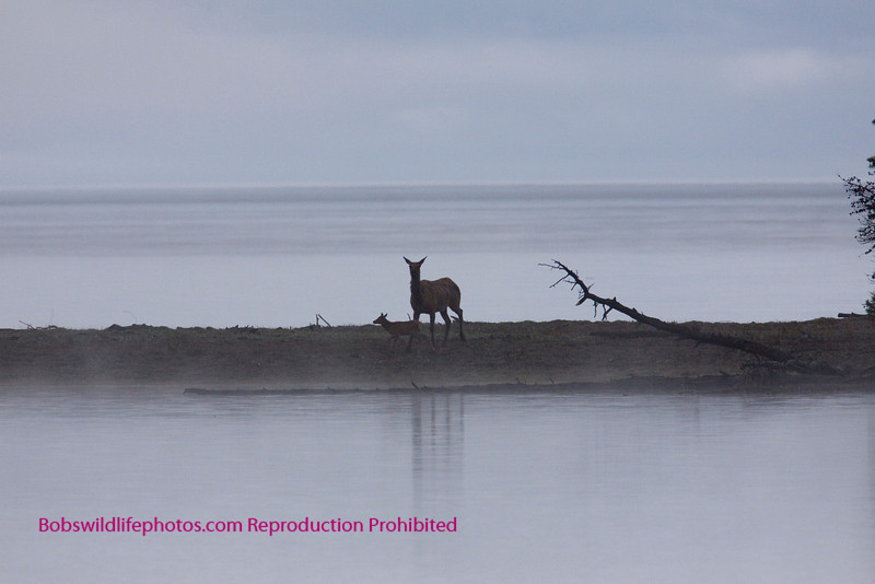 This photo was taken half way to Marys Bay on the east entrance road. It was early morning with a mist and the elk cow with calf were sureal.