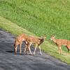 VA white-tailed deer