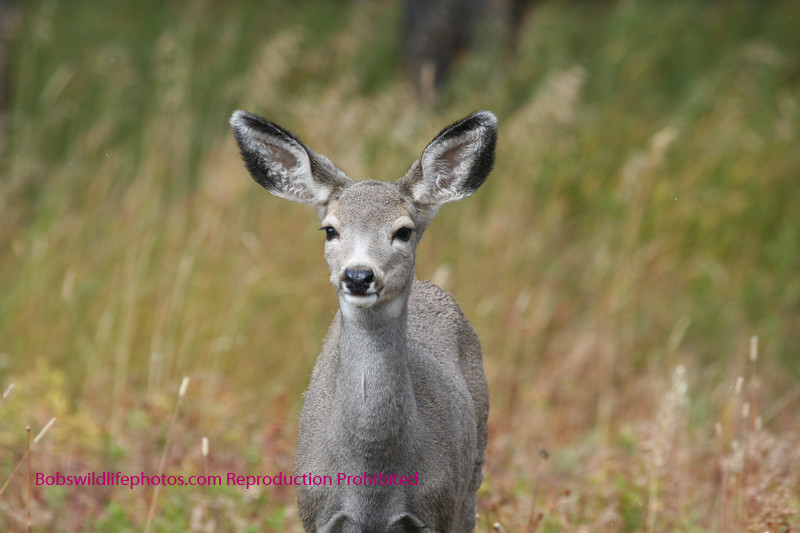 Mule deer in Silver Gate, Montana.