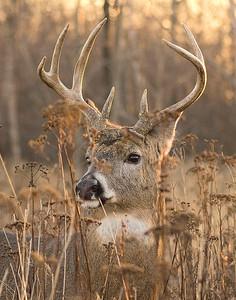 Deer 28
