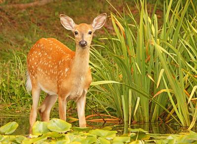 Deer 50