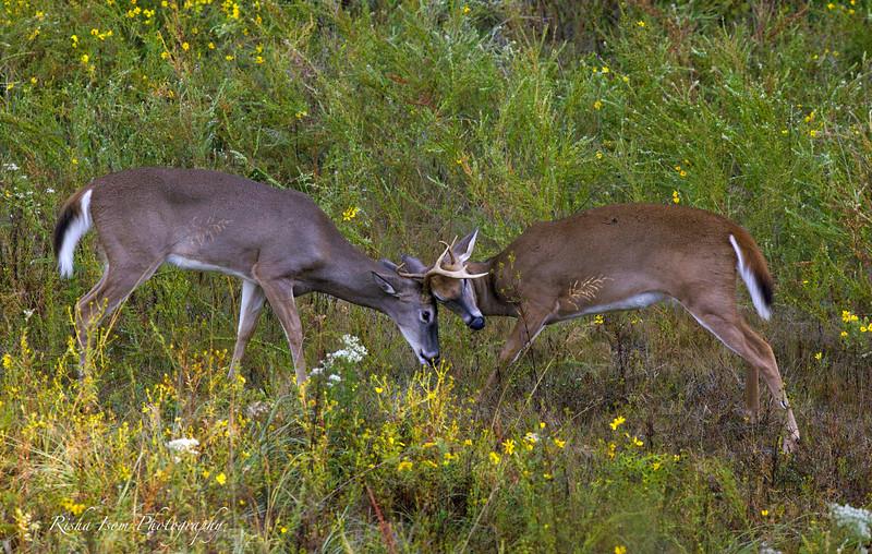 Bucks play fighting.