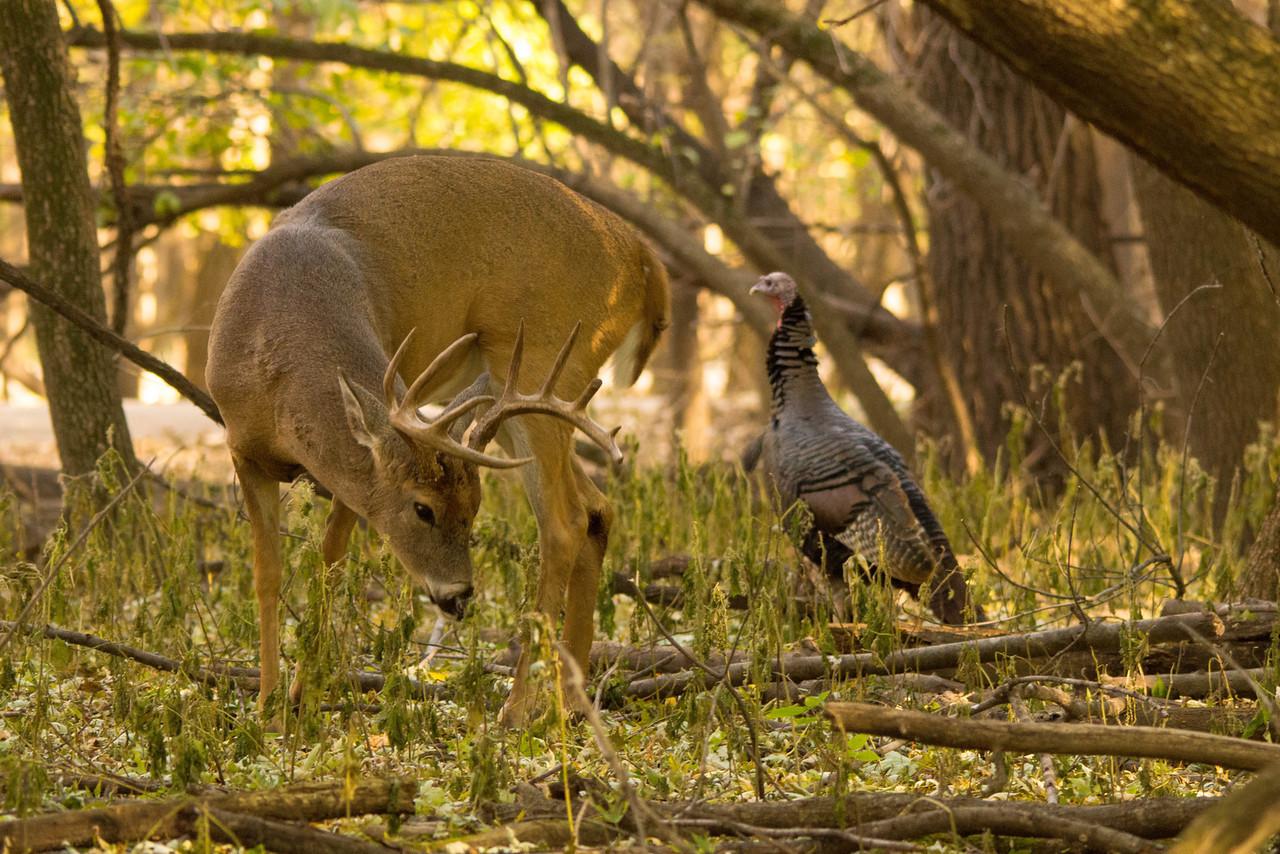 Whitetail Buck 6_PSundberg