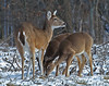 Whitetail doe and twin fawns