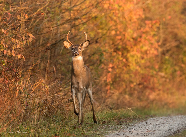 Buck marching toward me.