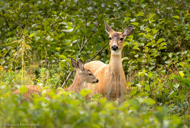Tender moment. Sitka Deer