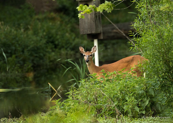 Lovely White-tailed doe.