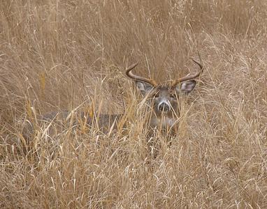 Deer 16
