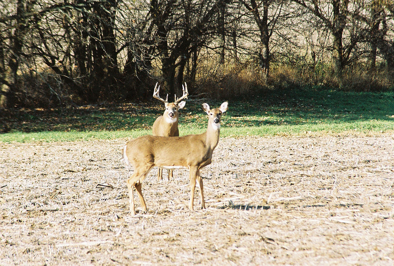 buck and doe during the rut