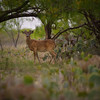 White-tail deer are hunted to control the population at Stasney's Cook Ranch in Texas.