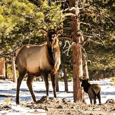 2 year old male elk guarding a herd of 50 females and young elk.