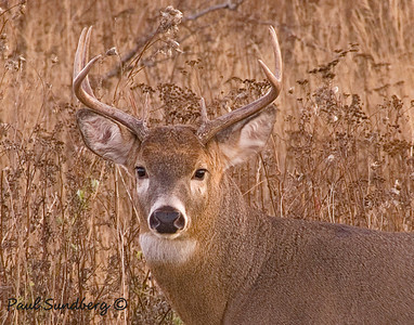 Deer 13