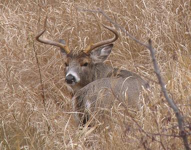 Deer 21