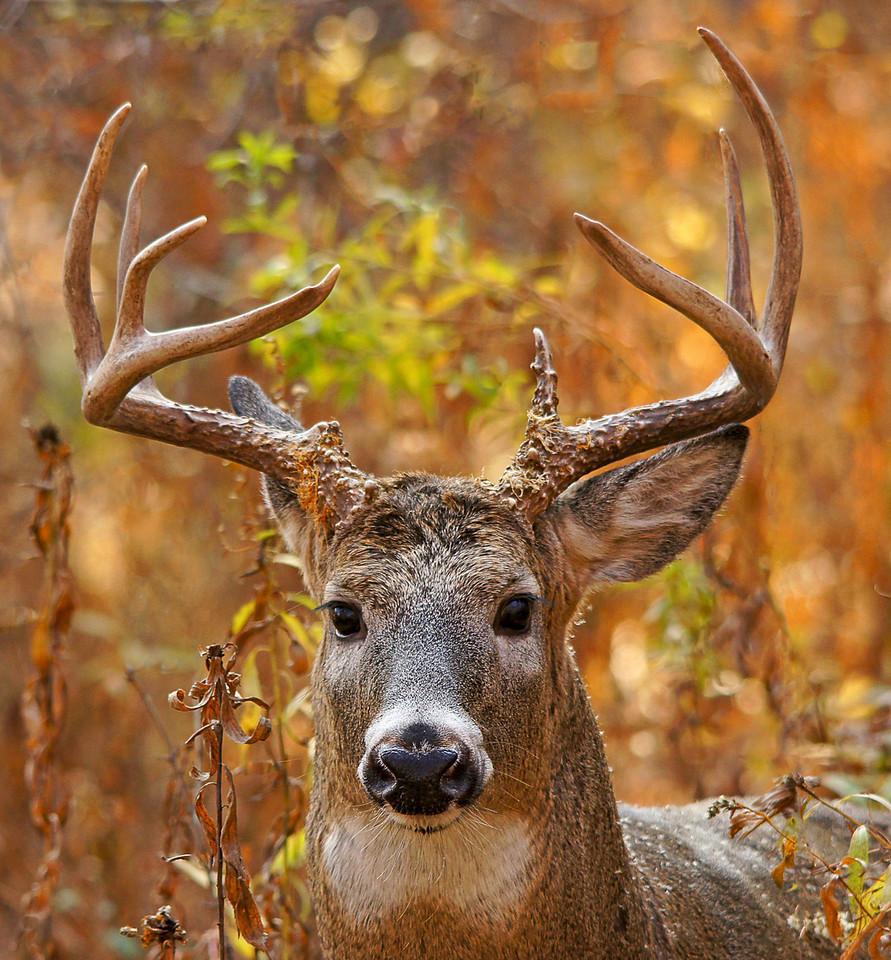 Whitetail Buck 1_PSundberg