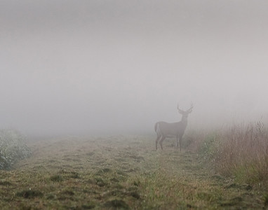 a whitetail buck standing between soybean fields in a thick fog