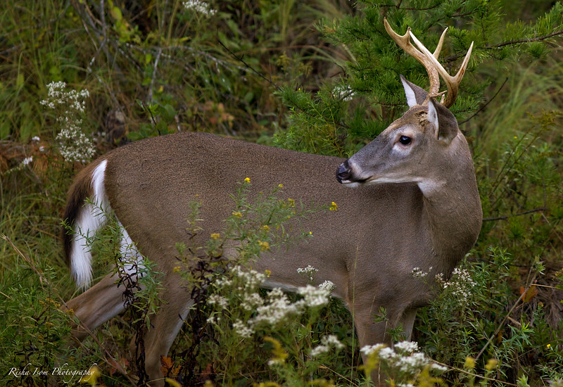 Portrait of a white-tailed deer