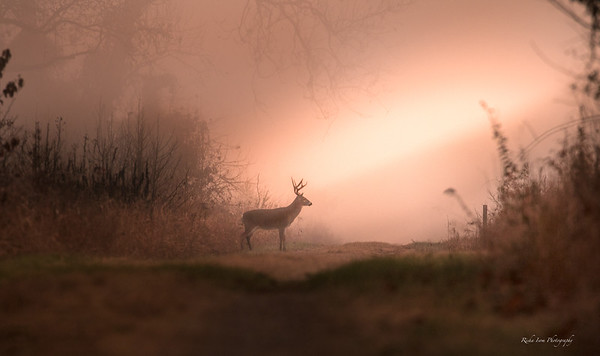 White-tailed buck in a foggy sunrise.