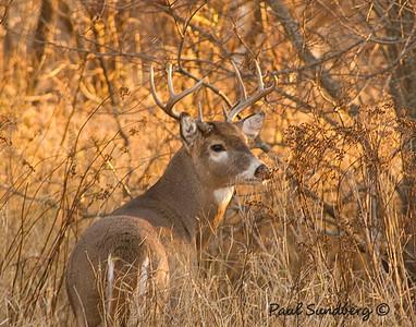 Deer 12
