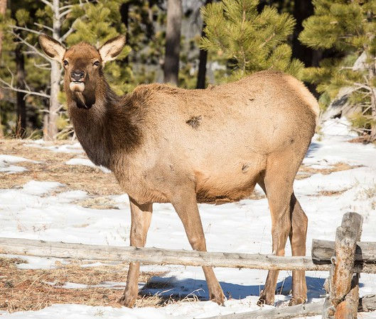 Female elk