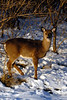 young doe in snow