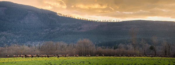 Elk herd at Meadowbrook Farm, near Snoqualmie, Washington.