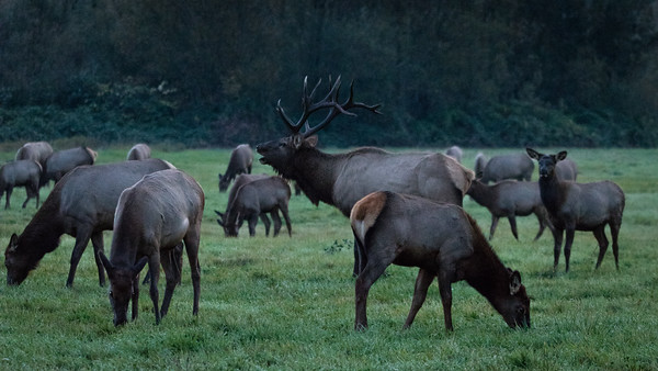 Elk - Snoqualmie Valley, Washington near North Bend.
