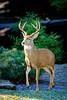 Western Black-Tailed Deer, North Bend, Washington
