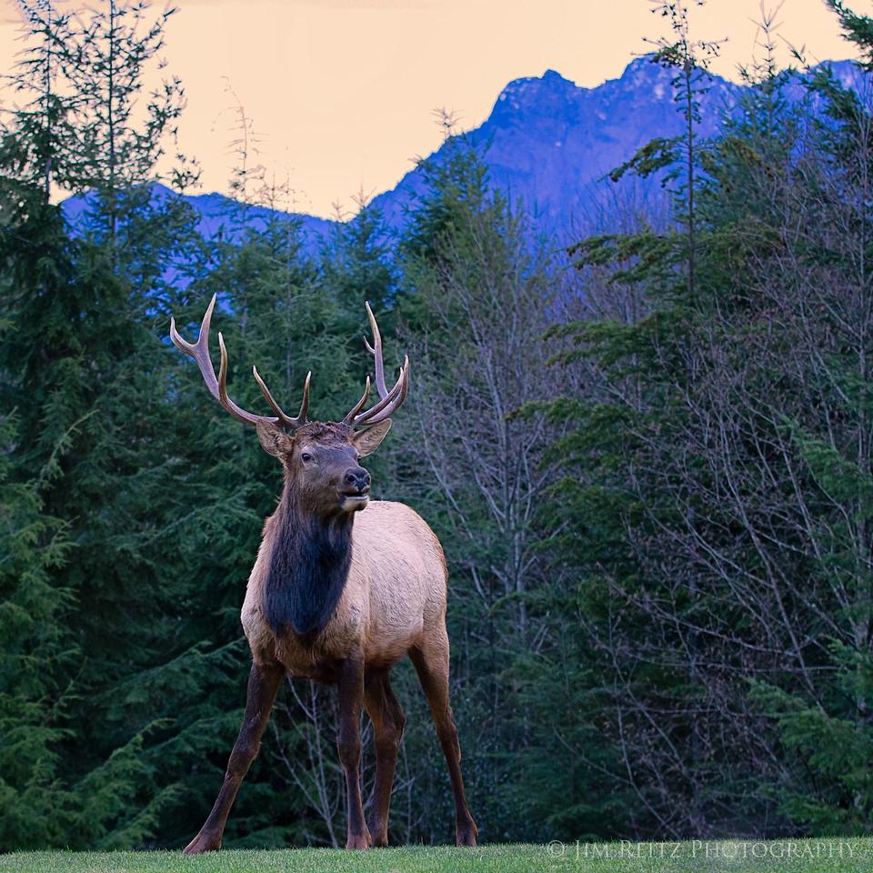 Elk at dawn, in my back yard.
