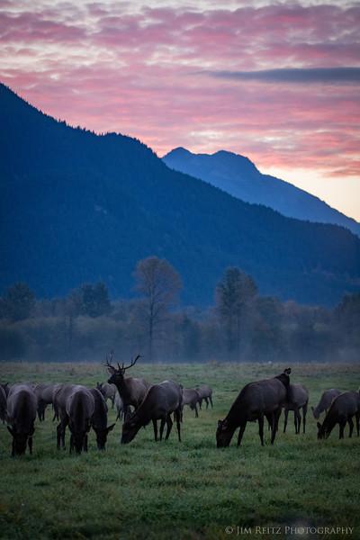 Elk herd at sunrise - Snoqualmie Valley, Washington near North Bend.