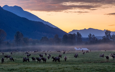 Elk herd at sunrise - Snoqualmie Valley, Washington near North Bend.