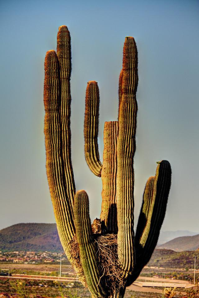 Owl in Cactus