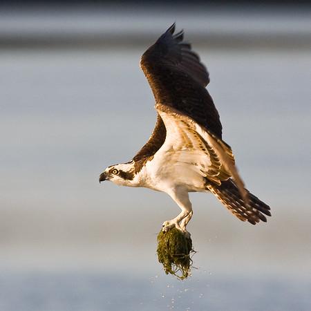 Osprey with Nesting Material - Ding Darling Wildlife Refuge, FL