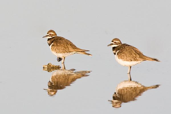 Killdeer Mirror - Ding Darling Wildlife Refuge, FL