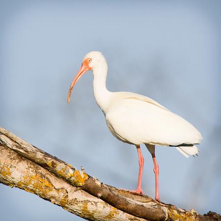 White Ibis - Ding Darling Wildlife Refuge, FL