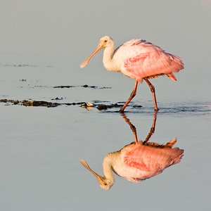 Roseate Spoonbill Reflection - Ding Darling Wildlife Refuge, FL