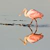 Roseate Spoonbill Reflection - Ding Darling Wildlife Refuge, FL
