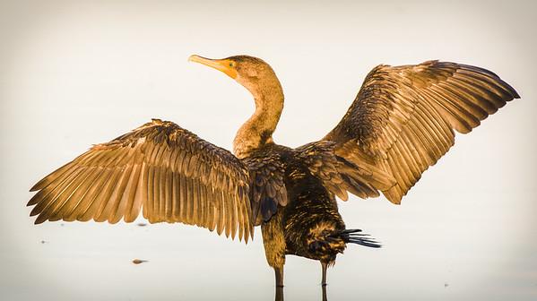 Double Crested Cormorant - Ding Darling Wildlife Refuge, FL