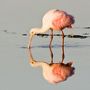 Roseate Spoonbill looking for Fish - Ding Darling Wildlife Refuge, FL