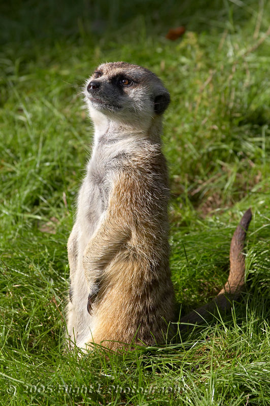 "Timon from ""The Lion King"" is a Meerkat"