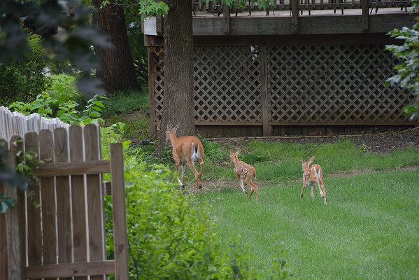 Doe and Fawn in Backyard 5.16.2015 and 6.14.2015