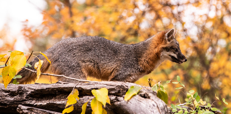 Gray Fox  in changing leaves