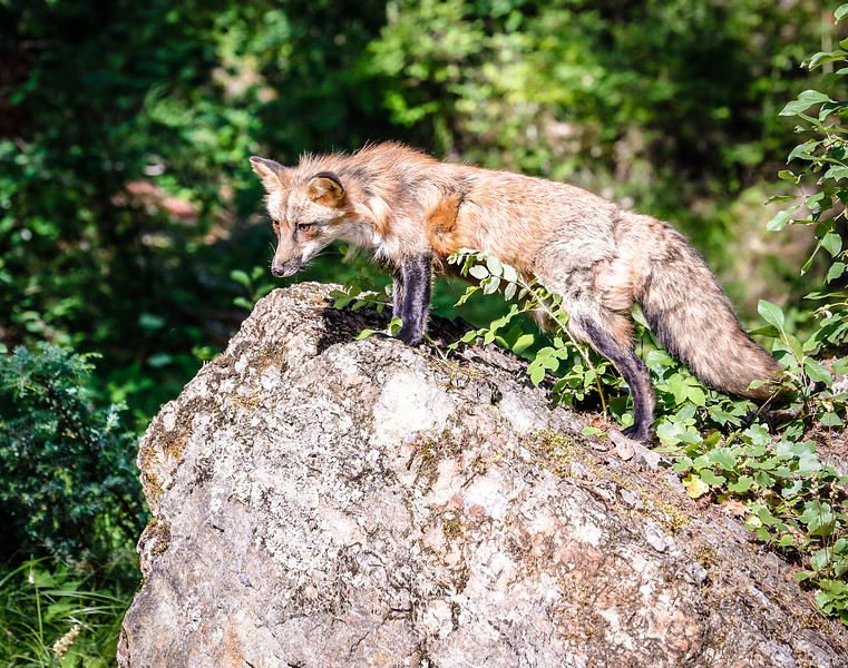 Red fox on sentry duty