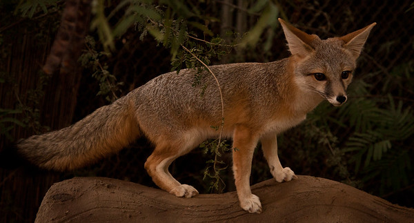 Kit Fox, looking for Mousesicles (frozen mouse parts, they love them).