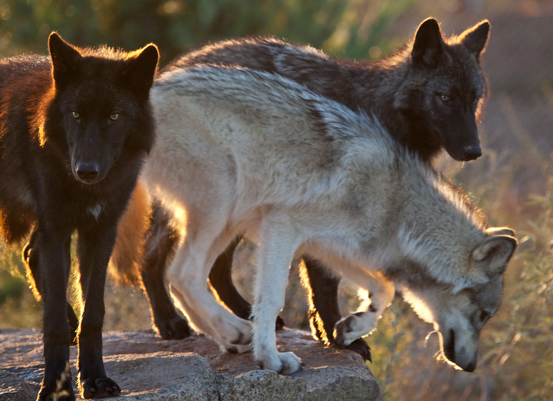 These hungry wolves were waking up with breakfast on their minds.  Fortunately they live in Out of Africa and their owners take very good care of them.