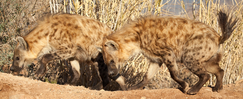 Two spotted Hyenas at Out of Africa.  They were busy looking for their treats.