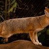Red fox at Southwest Conservation Center
